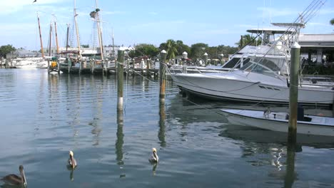 Florida-Key-West-Harbor-With-Boats-And-Swimming-Pelicans