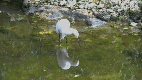 Florida-Egret-Poses-Over-Reflection