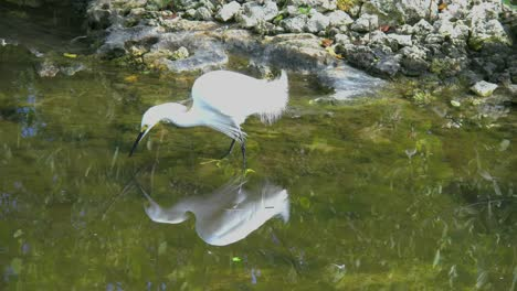 Florida-Egret-Reflected-In-Dark-Water