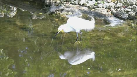 Garceta-de-Florida-reflejada-en-el-agua
