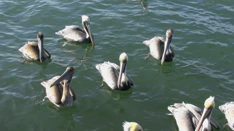 Florida-Pelicans-Gathered-Together-On-Water