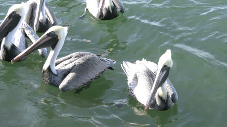 Florida-Pelicans-Swimming