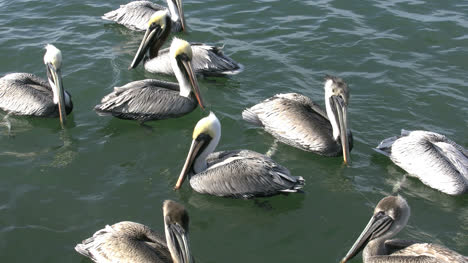 Florida-Pelicans-Zooms-In