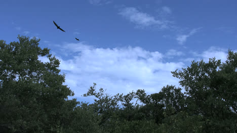 Florida-Vultures-Flying-Over-Trees