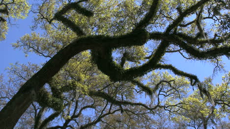 Louisiana-Rosedown-Plantation-Live-Oak