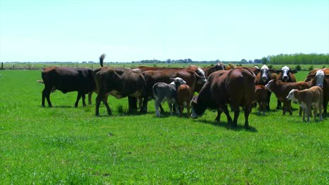 Louisiana-Cattle-With-Bull-Turning