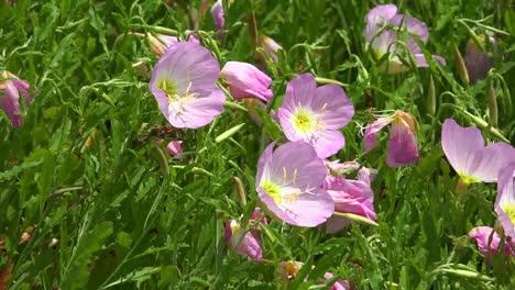 Louisiana-Pink-Buttercups-In-Wind