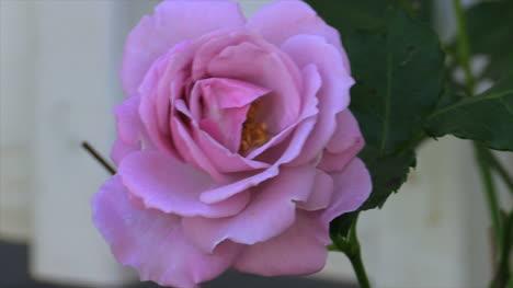 Pink-Rose-Vivid