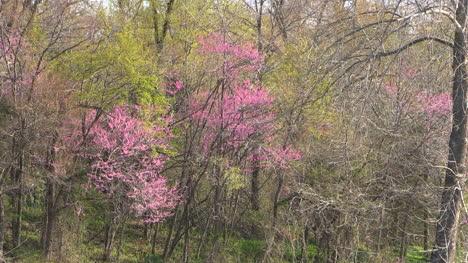 Arkansas-Redbud-In-Spring-Woods