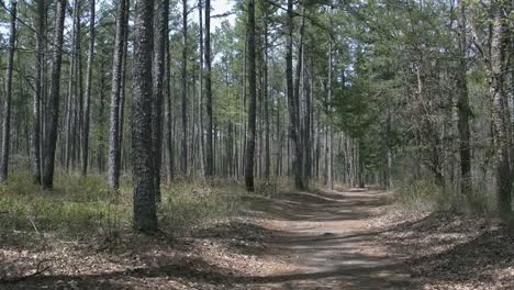 Arkansas-Pine-Forest-With-Lane