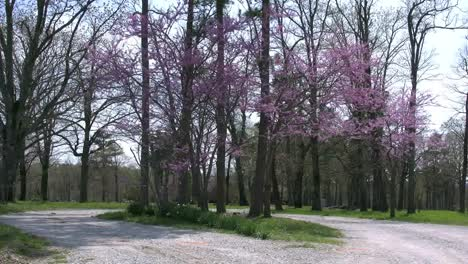 Arkansas-Redbud-Trees-And-Lane