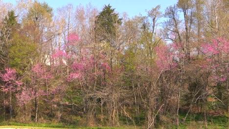 Arkansas-Redbud-Trees-In-Woods