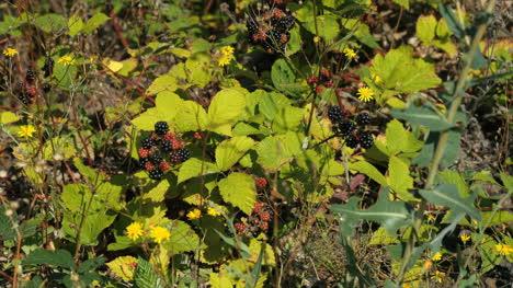 Blackberry-Vines