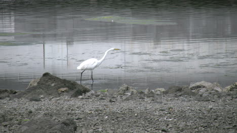 California-Bodega-Bay-Heron-Stalking