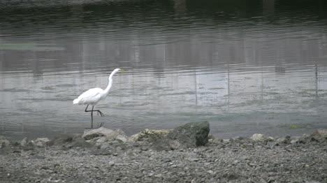 California-Bodega-Bay-Heron-Walking
