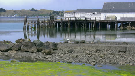 California-Bodega-Bay-Heron-Zooms-In