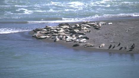 California-Sea-Lions-On-Russian-River-Beach