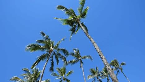 Oahu-Palms-Rising-Into-A-Blue-Sky