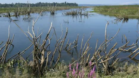Oregon-Columbia-River-Backwater-With-Dead-Trees