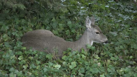 Oregon-Deer-In-Ivy-Blinks-Eye-And-Wiggles-Ears