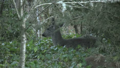 Oregon-Deer-In-Ivy-Hidden-By-Tree