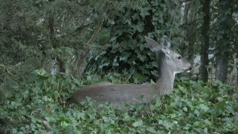 Oregon-Deer-In-Ivy-Turns-Head