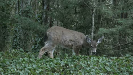 Oregon-Deer-In-Woods-Eats-Ivy