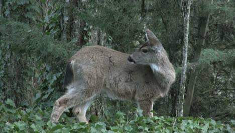 Oregon-Deer-In-Woods-Licks-Side