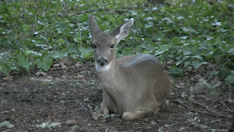 Oregon-Deer-On-Bare-Ground-By-Ivy
