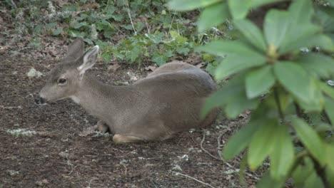 Oregon-Deer-Sitting-On-Bare-Ground