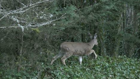 Oregon-Deer-Walks-Past-In-Woods
