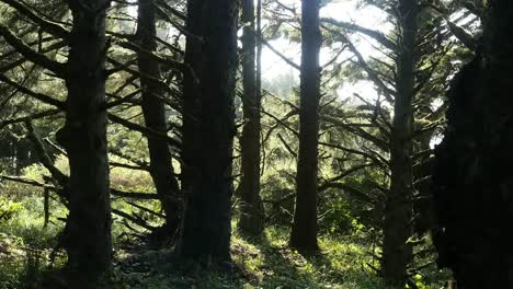 Oregon-Spruce-Forest-Trees-At-Coast