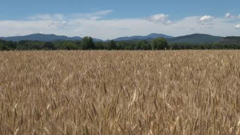 Oregon-Valley-Wheat-Farm