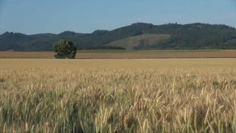 Oregon-Wheat-With-Hills-Beyond-Valley