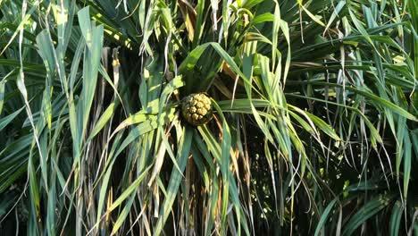 Pandanus-Plant