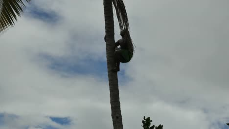 Samoa-Climbing-Up-Coconut-Palm