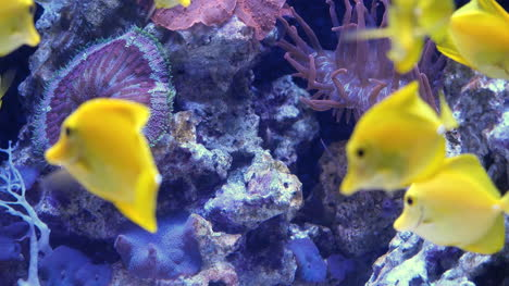 School-Of-Yellow-Tang-Fish-Swimming