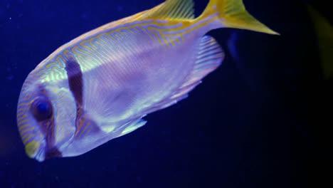 Tropical-Fish-Swimming
