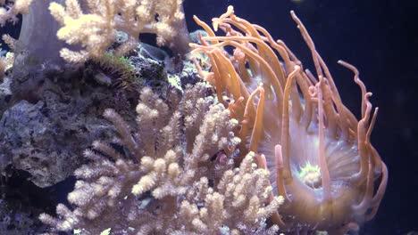 Tropical-Tang-Fish-And-Pink-Sea-Anemone