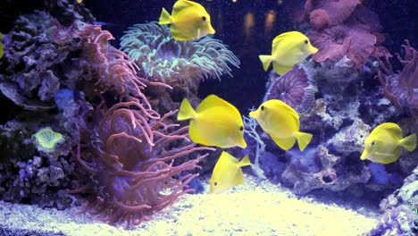 Yellow-Tang-Fish-With-Sea-Anemones