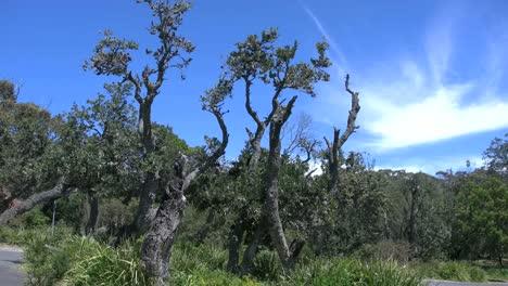 Australia-Banksia-Trees-Blue-Sky-And-White-Cloud
