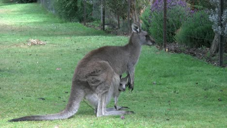Australia-Grampians-Kangaroo-With-Joey-By-Fence