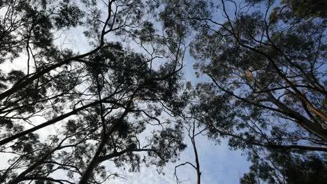 Australia-Great-Ocean-Road-Gum-Forest