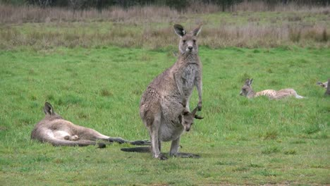 Australia-Kosciuszko-Mother-Kangaroo-With-Joey