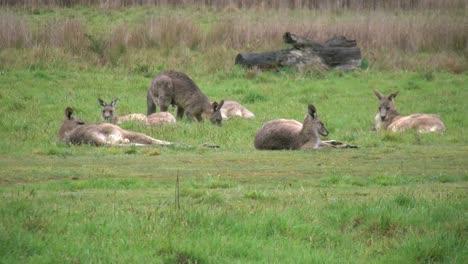 Australia-Kosciuszko-Group-Of-Kangaroos