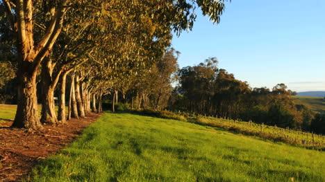 Australia-Mt-Bellevue-Row-Of-Trees
