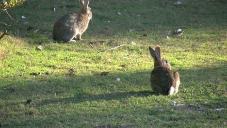 Australia-Murramarang-Beach-Bunny-Rabbits-One-Hops