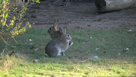 Australia-Murramarang-Beach-Bunny-Rabbits-Sitting-On-Grass