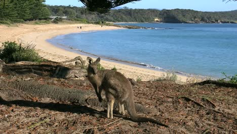 Australia-Murramarang-Beach-Kangaroo-Looks-Up-And-Turns-Face-On