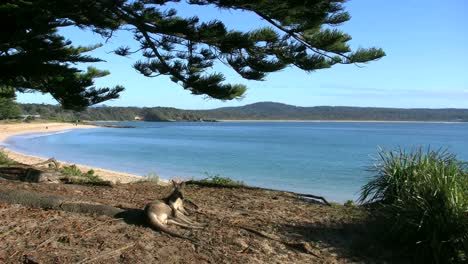 Australia-Murramarang-Beach-Kangaroo-Lying-With-Beach-Beyond